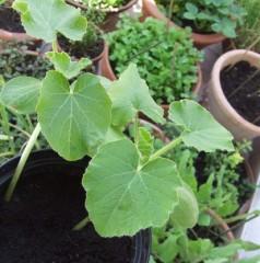 Piantine di zucca nate nel compost